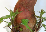 Grow A Sweet Potato - Fun Preschool Science Activity